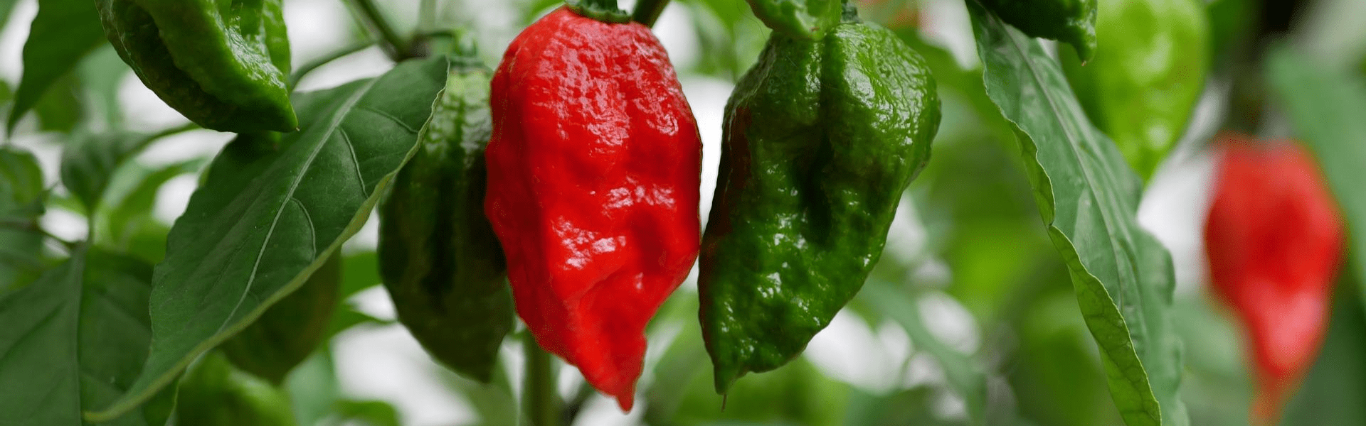 Bhut Jolokia from North East India