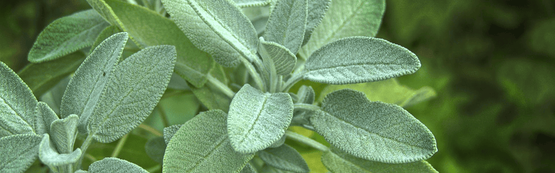 Leaves of a sage plant found in Meghalaya