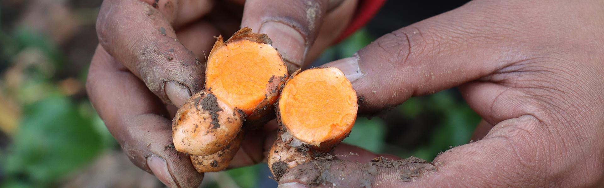 Real Lakadong or Ordinary Turmeric – Know Different Varieties of Turmeric