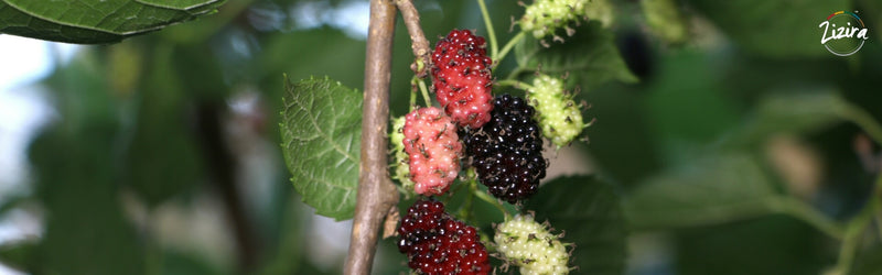 7 Wonderful Health Benefits of Mulberry fruit (Shahtoot)
