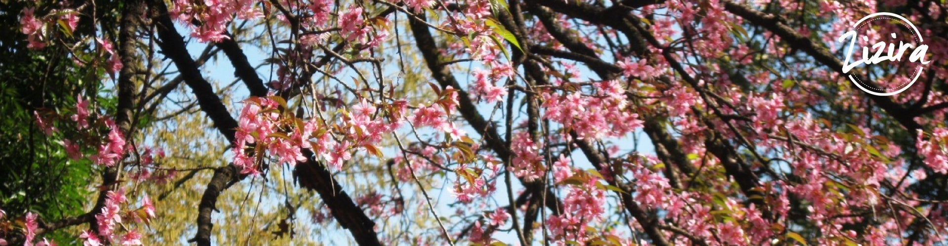 Cherry Blossom Festival in Meghalaya is one of the biggest festivals in the state | Zizira