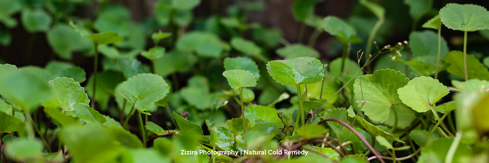 Gotu Kola Other Names of This Natural Anxiety Reliever