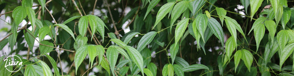 Long Pepper Cultivation in Meghalaya