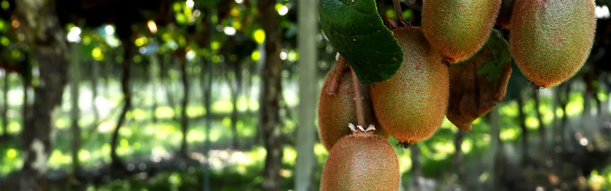 Arunachal's Kiwifruit and The Legend of Sedi And Selo