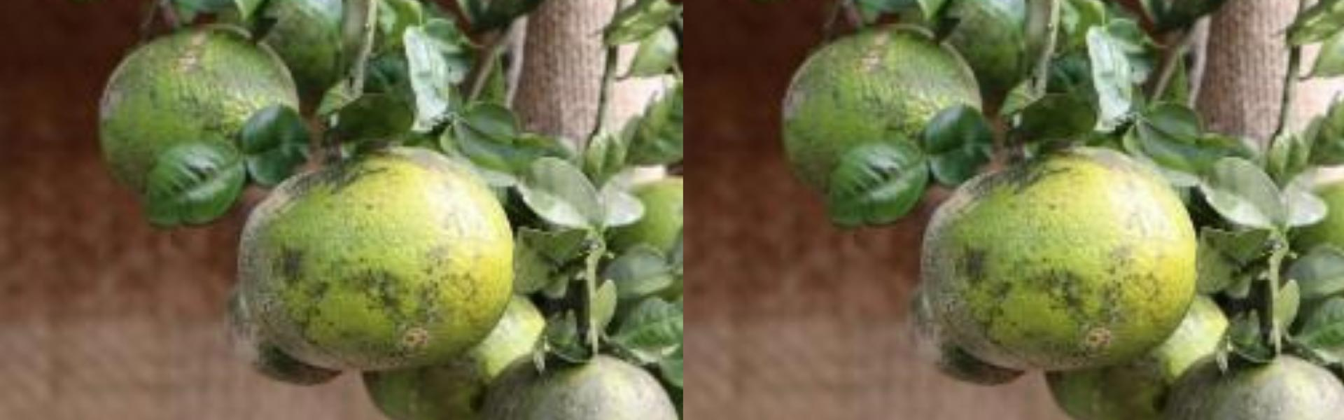 Soh Kwit - Medicinal And Culinary Wild Orange Of Meghalaya