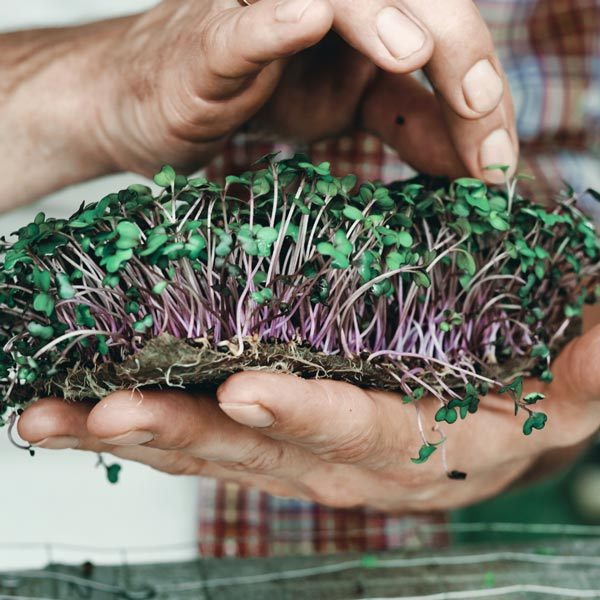 Microgreens are young plants that can be easily grown at home!