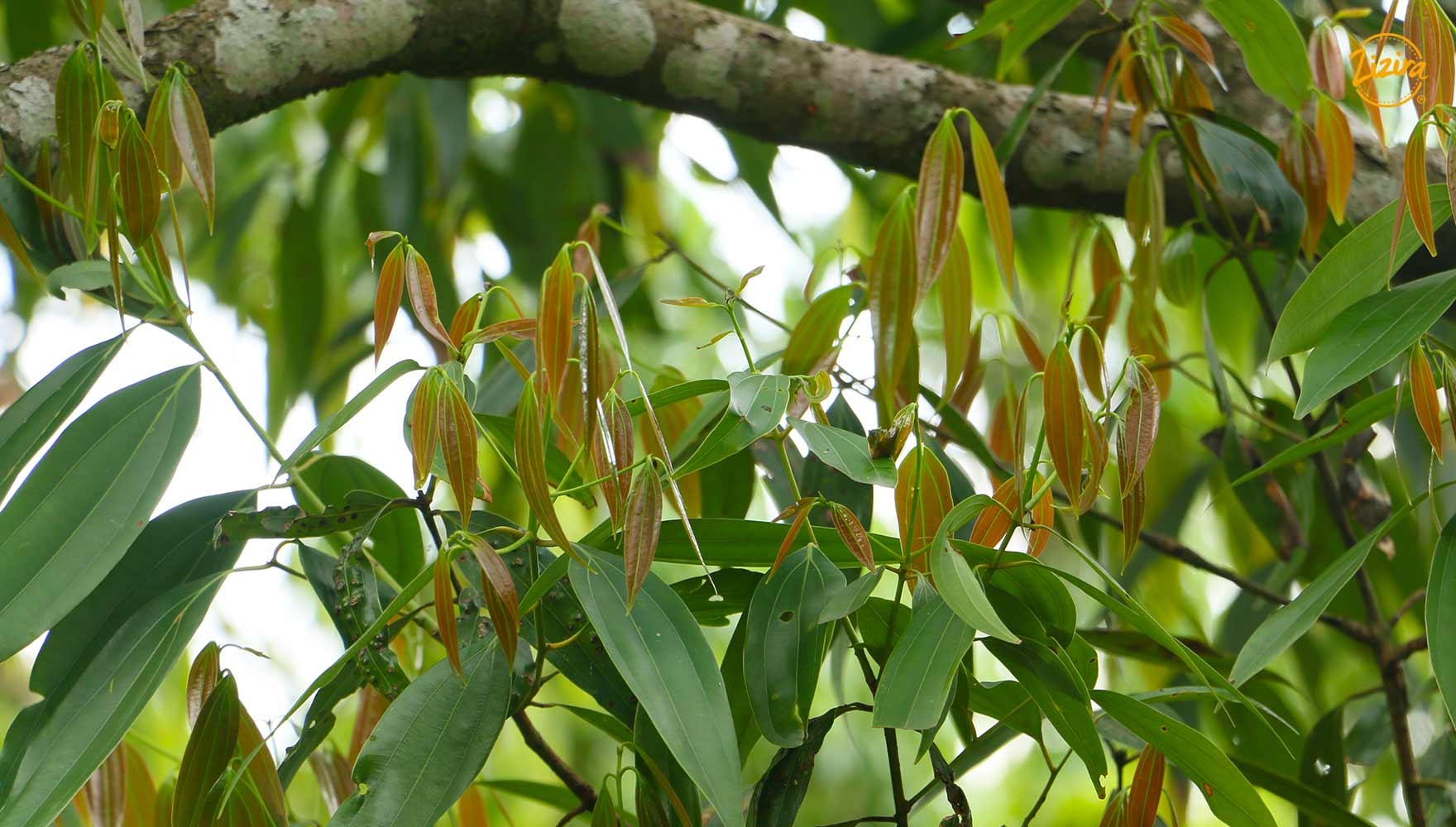 Bay Leaf Tree