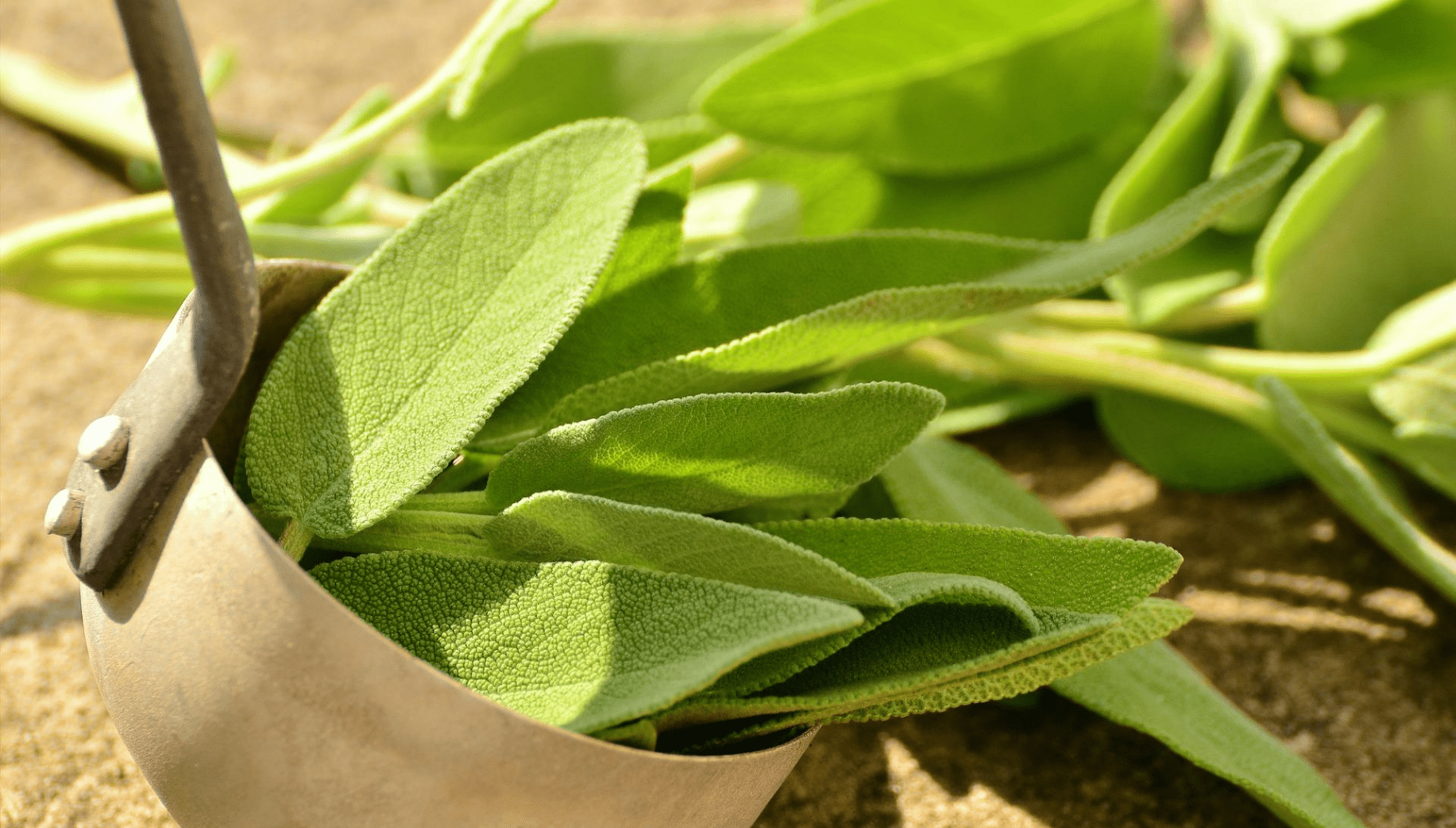 Sage plant from Meghalaya