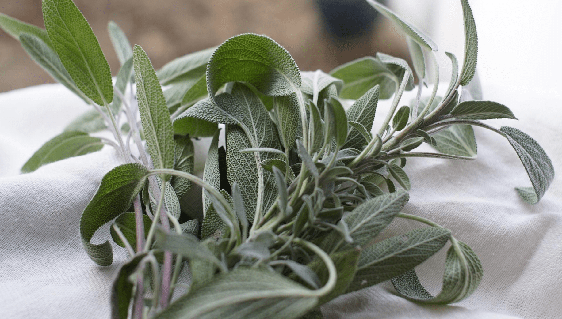 Sage plants commonly found in Meghalaya