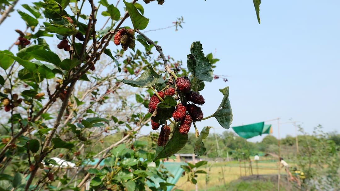 Mulberry fruit (Shahtoot)