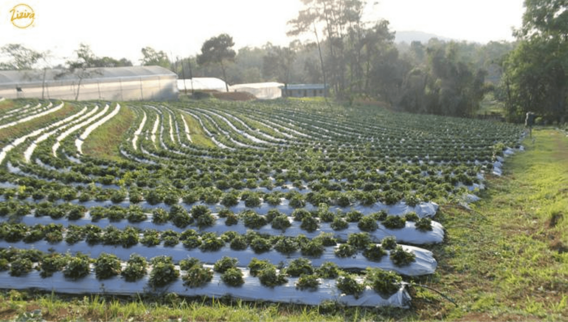 Strawberry farm in Meghalaya