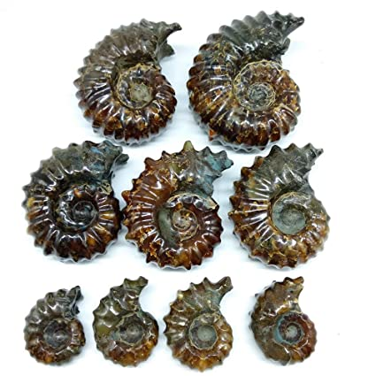 Goat Horn Ammonite Fossils Whole - alter8.com