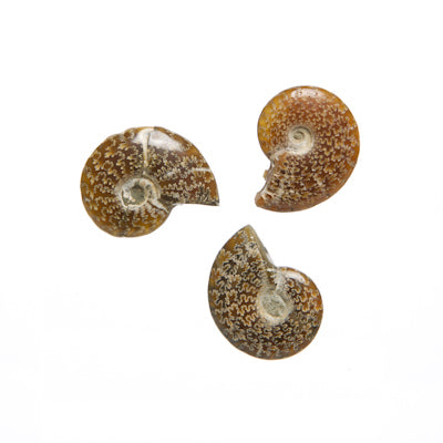 Cleoniceras Ammonite Fossils Whole - alter8.com
