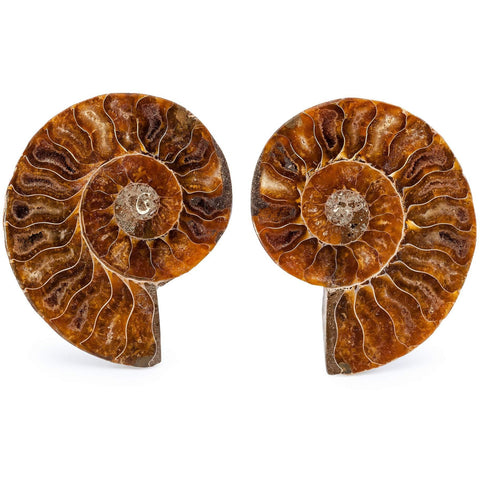 Cleoniceras Ammonite Fossils Sliced - alter8.com