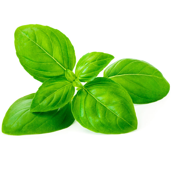 Sweet Basil Essential Oil - alter8.com