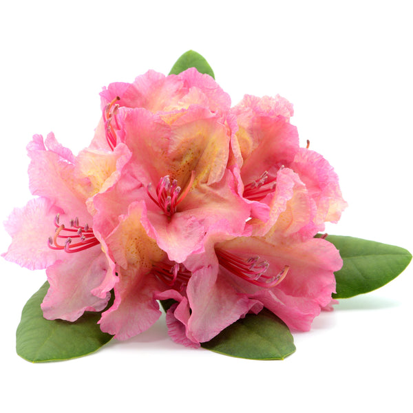 Rhododendron Essential Oil - alter8.com