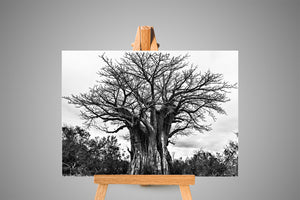 Giant Baobab Black and White Canvas Print | Photos by Petrus Bester