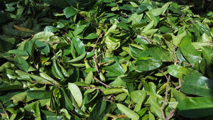 Jamaican Soursop Leaves with Stems