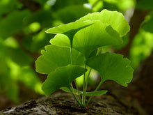 Load image into Gallery viewer, Organic Ginkgo Leaf Powder - $4.99/lb - 44/lb case - Free Delivery