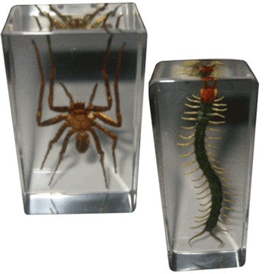 Real Life Science Specimens - Centipede