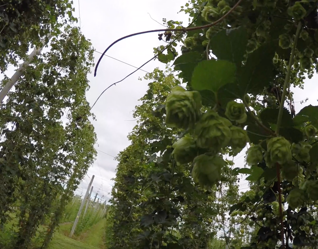Not long to go until the New Zealand Hop Harvest!
