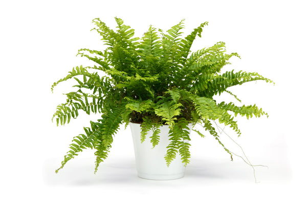 Boston Fern Plant Cleans Air