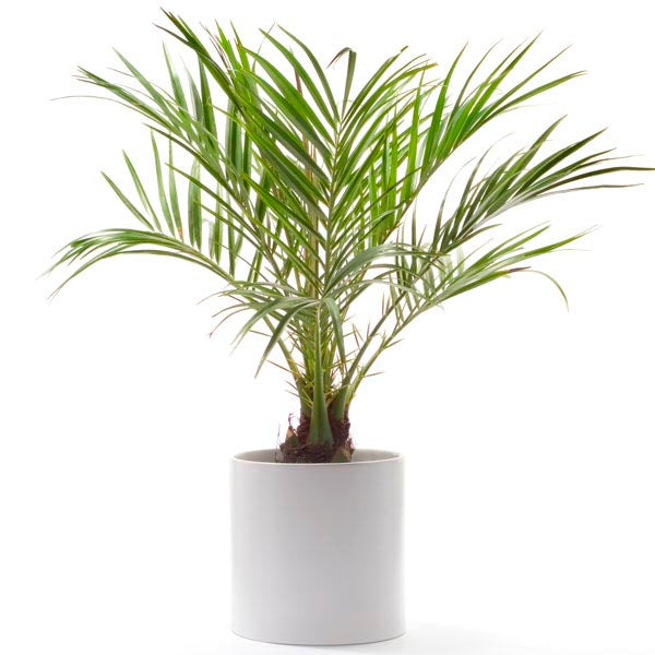Dwarf Date Palm Plant Cleans air