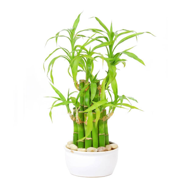 Bamboo House Plant cleans airs
