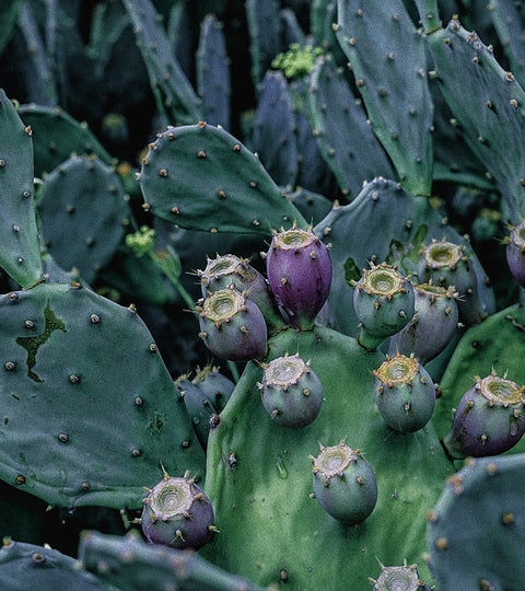 This Edible Cactus is one of our Star Ingredients