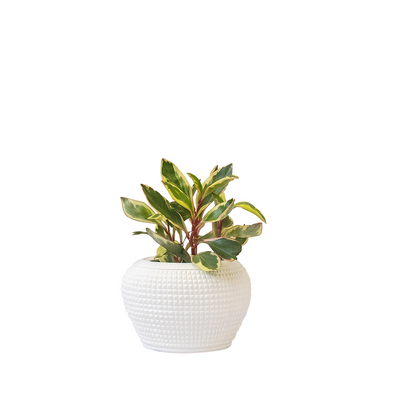 Mini Warrior Pot Chalk - Gro Urban Oasis