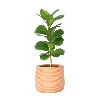 Fiddle Leaf Fig - Gro Urban Oasis