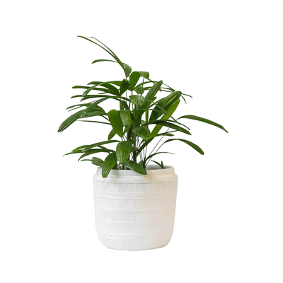 Cairo Pot White & Parlour Palm - Gro Urban Oasis