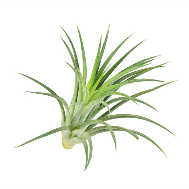 Air Plants - Gro Urban Oasis
