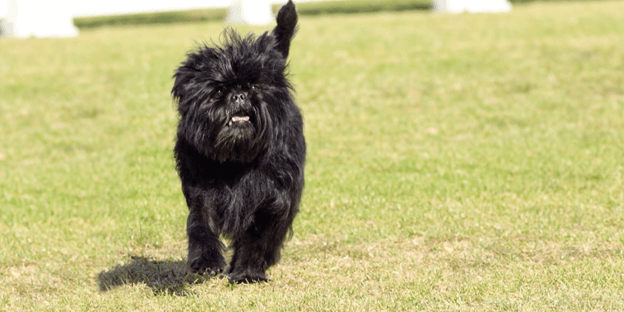 Affenpinscher is a hypoallergenic breed that's sure to keep you laughing.