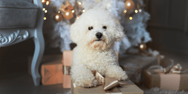 Bichon Frise is an adorable dog breed that's small in size, but huge in personality.