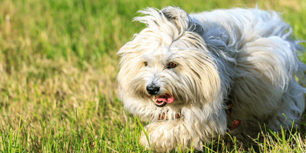 The Coton De Tulear is the best family dog.