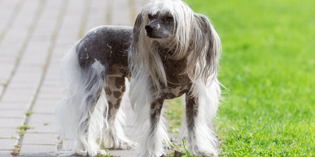 Chinese Crested is perfect for those who want an active, low-maintenance dog.
