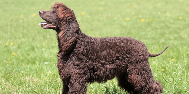 The Irish Water Spaniel is great for outdoorsy people!