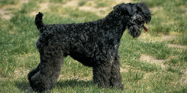 The Kerry Blue Terrier is a hypoallergenic dog breed that's incredibly smart, active, and playful.