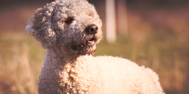 The Lagotto Romagnolo is reliable, loving, and affectionate dog