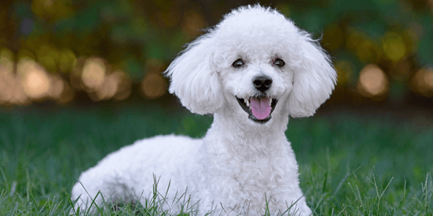 the Poodle is one of the best hypoallergenic family dogs.