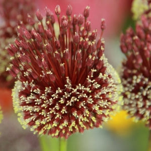 Allium amethystinum Red Mohican