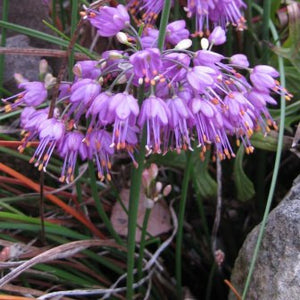 Allium thunbergii Ozawa