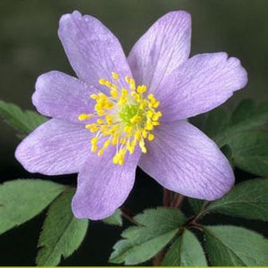 Anemone nemorosa Bowles Purple