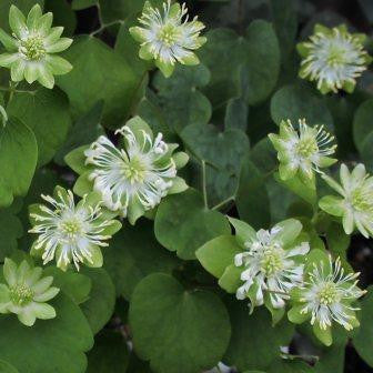 Anemonella thalictroides Green Hurricane