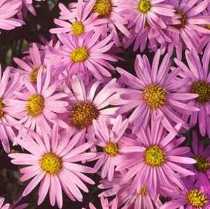 Aster amellus Rotfeuer