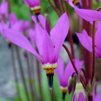Dodecatheon pulchellum ssp pulch. Red Wings