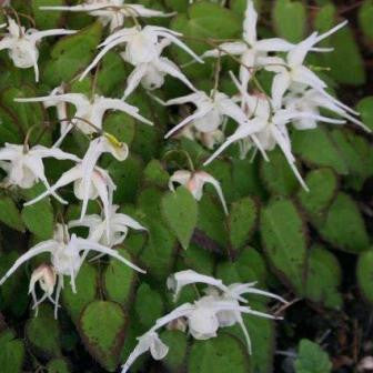Epimedium grandiflorum Creeping Yellow