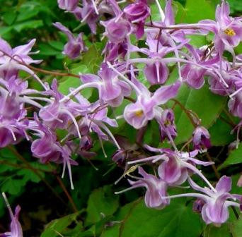 Epimedium grandiflorum Purple Pixie