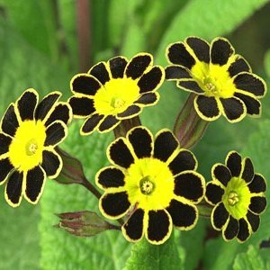 Primula Gold Laced Polyanthus